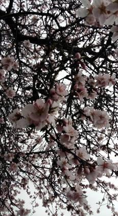 170312 L'amandier de Mariane en fleurs