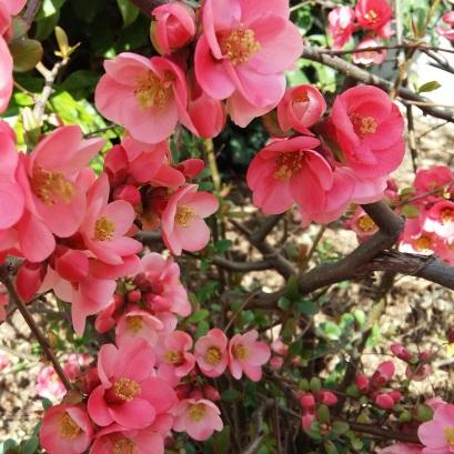 170314 16.46.10 Photo arbuste à fleurs roses