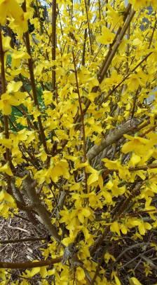 170314 photo des genets en fleurs