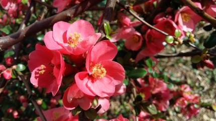 170314_124845 fleurs roses arbuste zoom