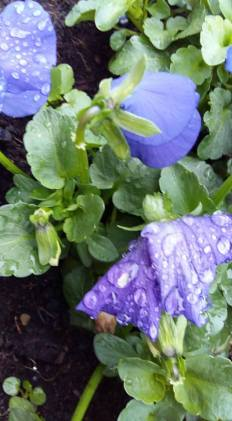 170321 Le Renouveau - Pensée violettes avec gouttes d'eau