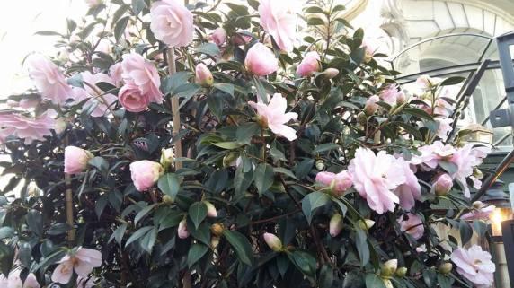 170329 La Closerie des Lilas - Camélia en fleurs rose pâle