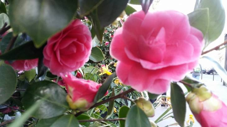 170329 Photo devant la Closerie des Lilas - Camélia en fleurs