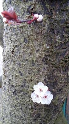20170312 Fleurs de prunier sur le tronc