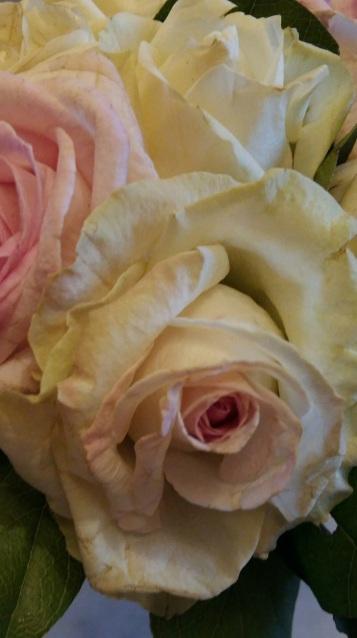 20170318 Photo roses offertes par Olivier à Bathilde retour clinique le 18-03-17