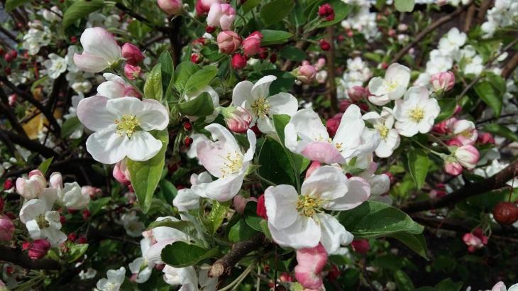 170401 Bilan fleur de pommier