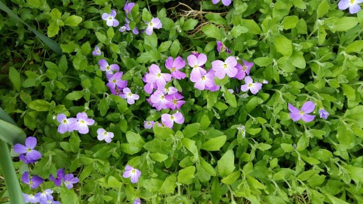 170401 Bilan fleurs de myosotis