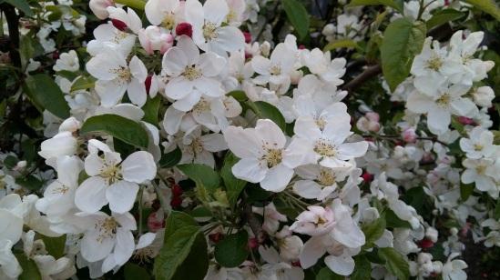 170405 Pommier en fleur le 05-04-17 2