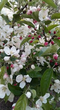 170406 Le pommier en fleur le 06-04-17
