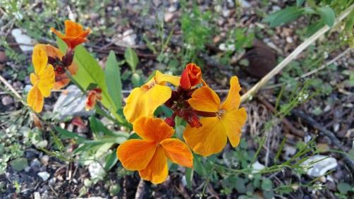 170407 Photo fleur de giroflée.jpg