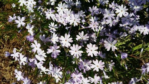 170407 Photo fleurs bleues.jpg