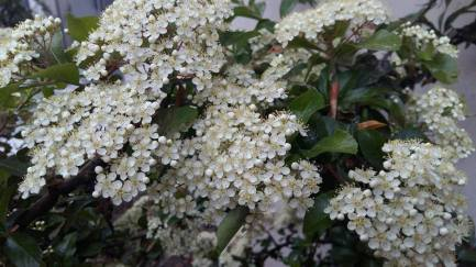 170505 Fleurs blanches