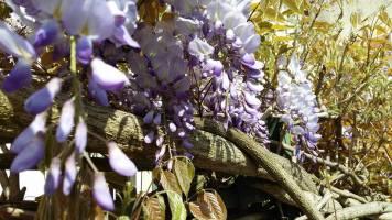 170505 Glycine en fleurs