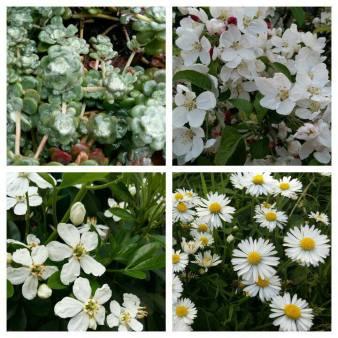 170521 Mai joli mois de mai collage de 4 fleurs blanches