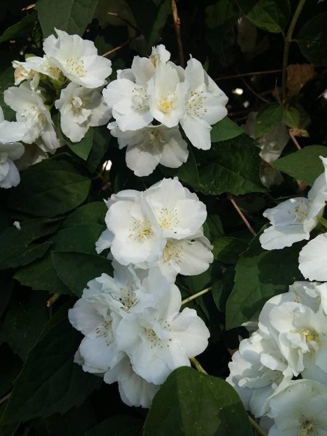 « L'arbuste en fleurs, mon beau seringat»