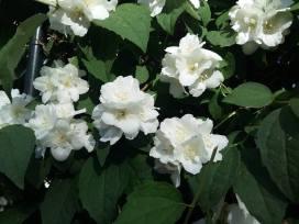 170530 Fleurs de seringat 3