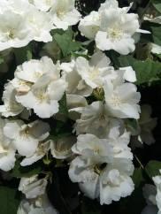 170530 Fleurs de seringat