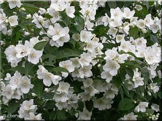 170530 Le seringat en fleurs