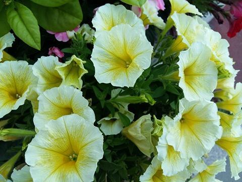 170620 Le Printemps - fleurs jaunes