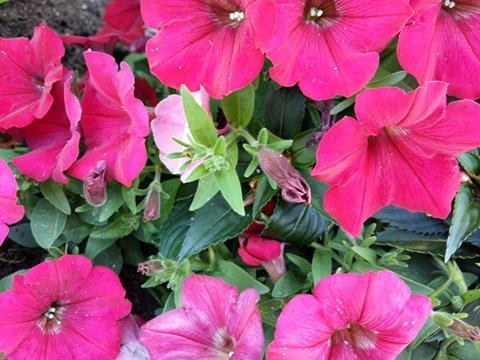 170620 Le Printemps - fleurs roses foncées