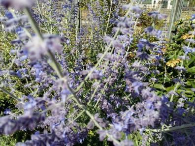 170622 Jardins dans la ville fleurs bleues