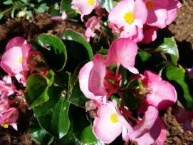 170622 Jardins dans la ville fleurs roses