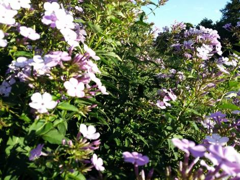 170709 Fleurs 1