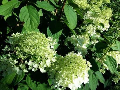 170717 Fleurs blanches 1