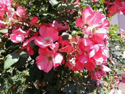 170717 Fleurs roses