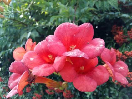170814 Fleurs orange