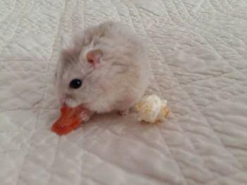 171106 Motte le hamster