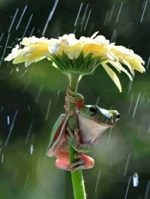 180318 Grenouille sous une fleur un jour de pluie - Photo enregistrée sur le net